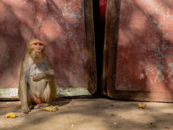 Delhi Researchers Use AI To Tackle City's Monkey Menace